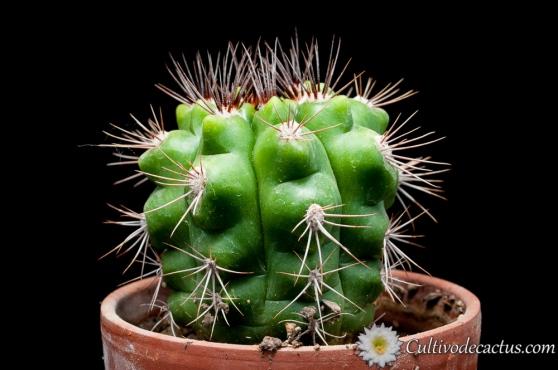 Gymnocalycium horridispinum ssp horridispinum