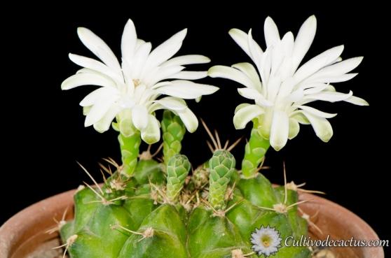 Gymnocalycium marsoneri ssp. megatae