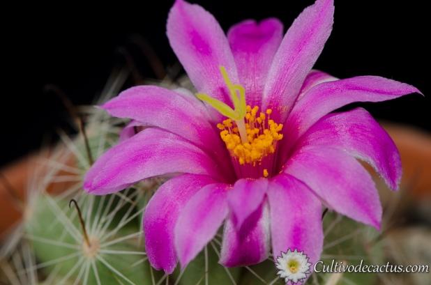Mammillaria boolii