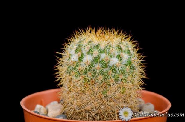 Mammillaria-columbiana-ssp-columbiana