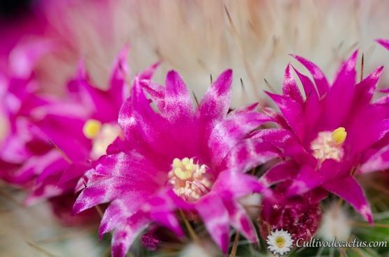 Mammillaria nunezii ssp bella