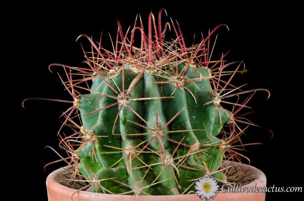 Ferocactus emoryi ssp. emoryi