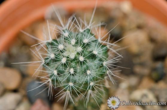 Echinocereus pulchellus var. sharpii