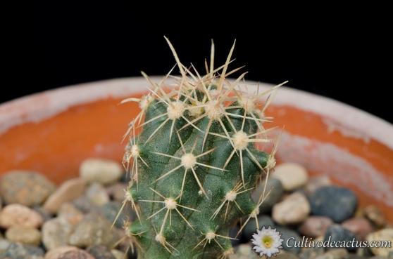 Ferocactus herrerae