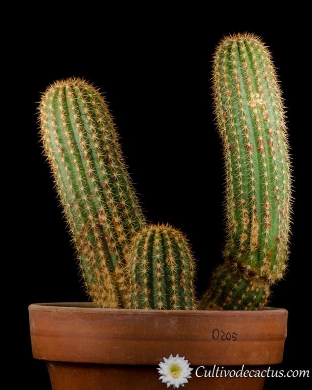 Trichocereus schickendantzii