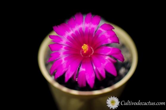 Mammillaria guelzowiana