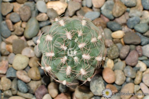 Gymnocalycium bruchii brigittae
