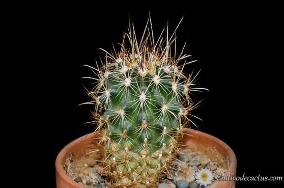 Sclerocactus scheerii