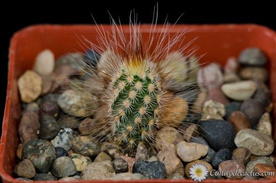 Echinocereus primolanatus
