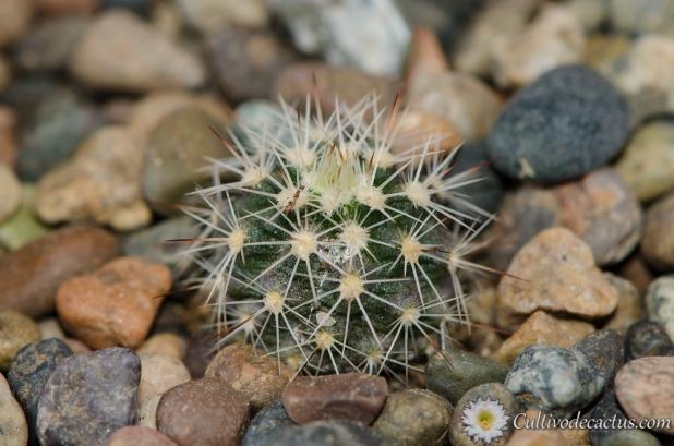 Echinocereus pectinatus ssp. wenigeri