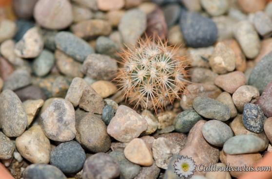 Sclerocactus unguispinus
