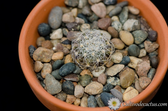 Thelocactus conothelos var.  aurantiacus