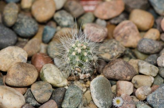 Echinocereus pulchellus ssp pulchellus