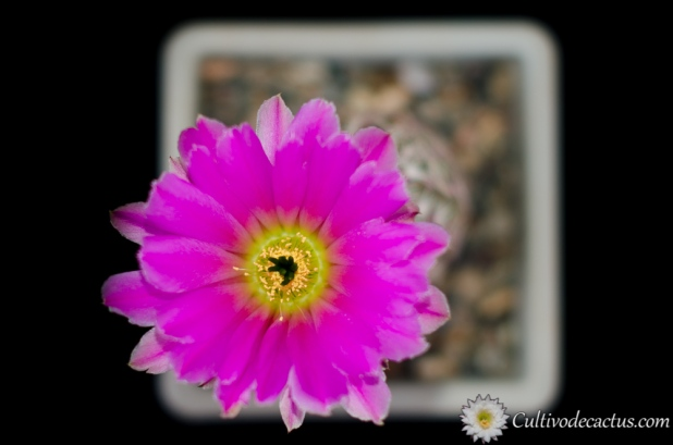 Echinocereus pamanesiorum