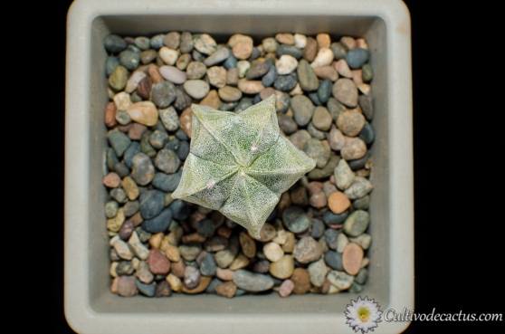 Astrophytum myriostigma variegada