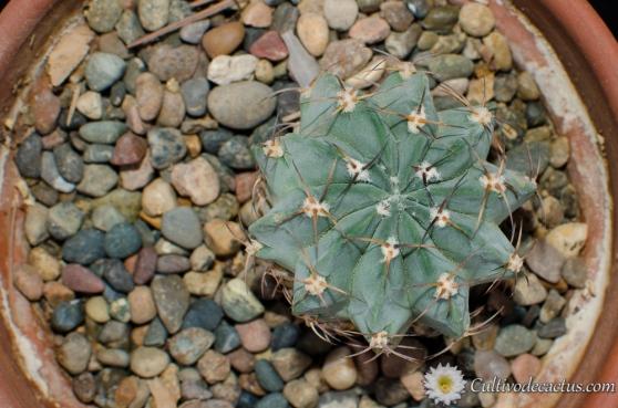Lobivia jajoiana paucicostata