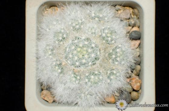 Mammillaria glassii