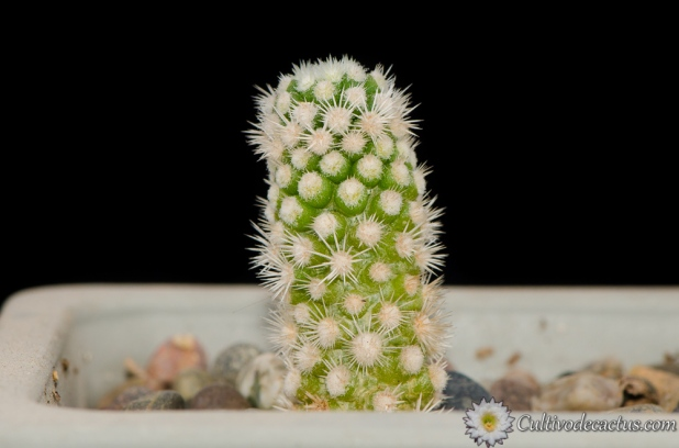 Mammillaria vetula ssp. gracilis cv. ARIZONA SNOWCAP