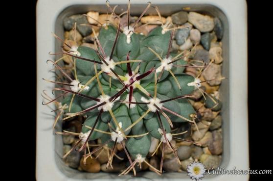 Sclerocactus uncinatus crassihamatus