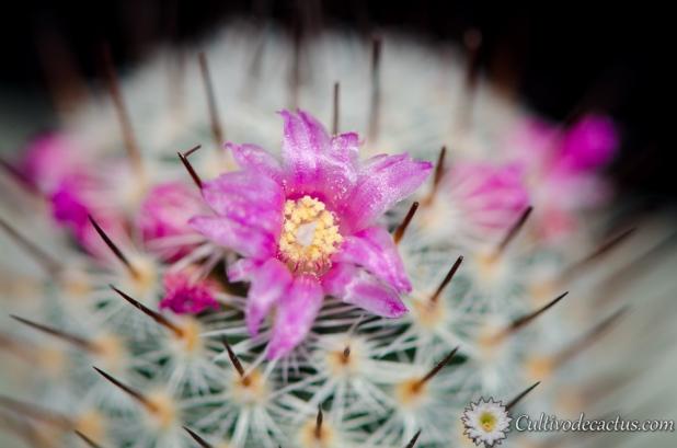 Mammillaria haageana