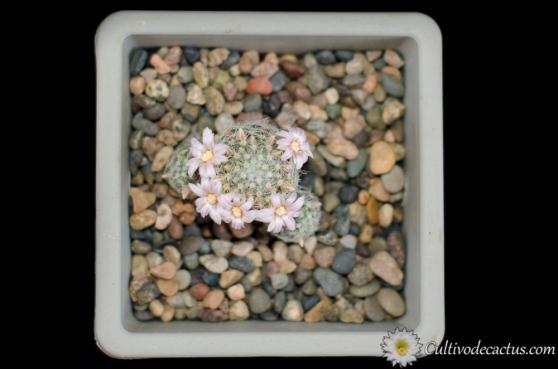 Mammillaria schiedeana ssp. giselae