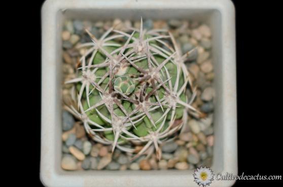 Gymnocalycium castellanosi ssp. ferocius