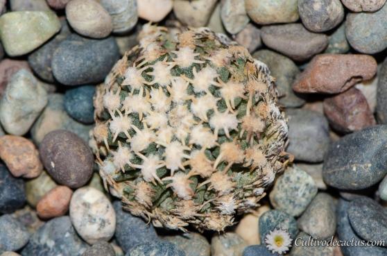 Pygmaeocereus bieblii