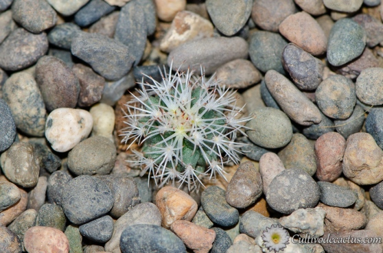 Turbinicarpus beguinii ssp hintoniorum