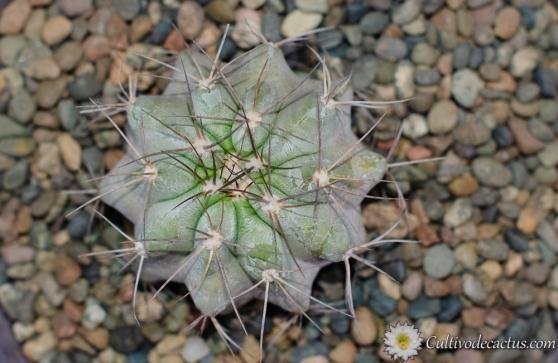 Copiapoa grandiflora
