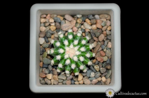 Echinocactus grusonii var. brevispinus