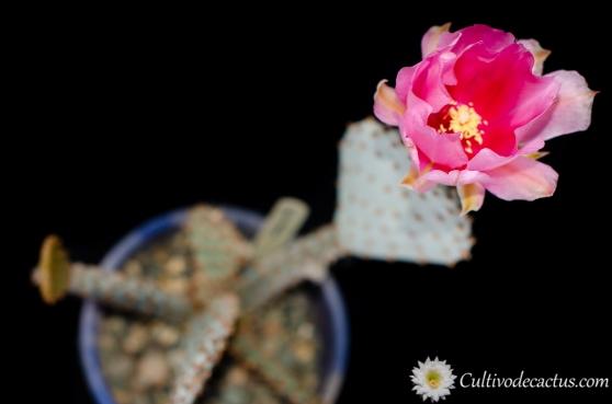 Opuntia basilaris, 11 de Octubre de 2020