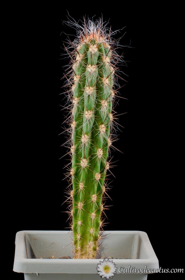 Oreocereus pseudofossulatus