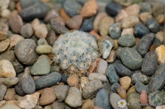 Mammillaria schiedeana ssp. schiedeana