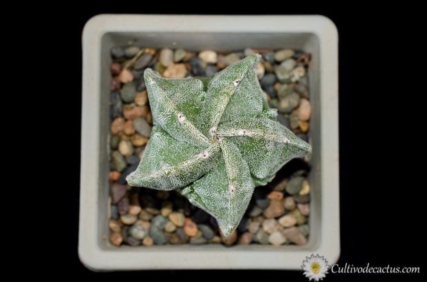 Astrophytum myriostigma cv. Fukuryu