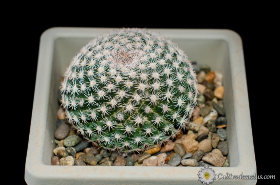 Mammillaria formosa ssp formosa