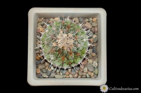Coryphantha salinensis