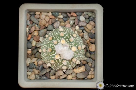 Astrophytum asterias cv. Shinshowa