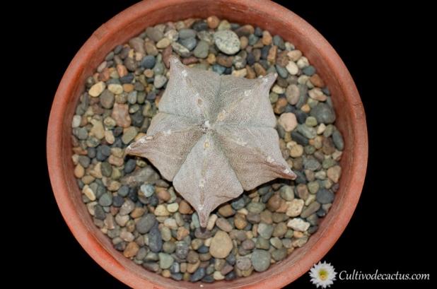 Astrophytum coahuilense