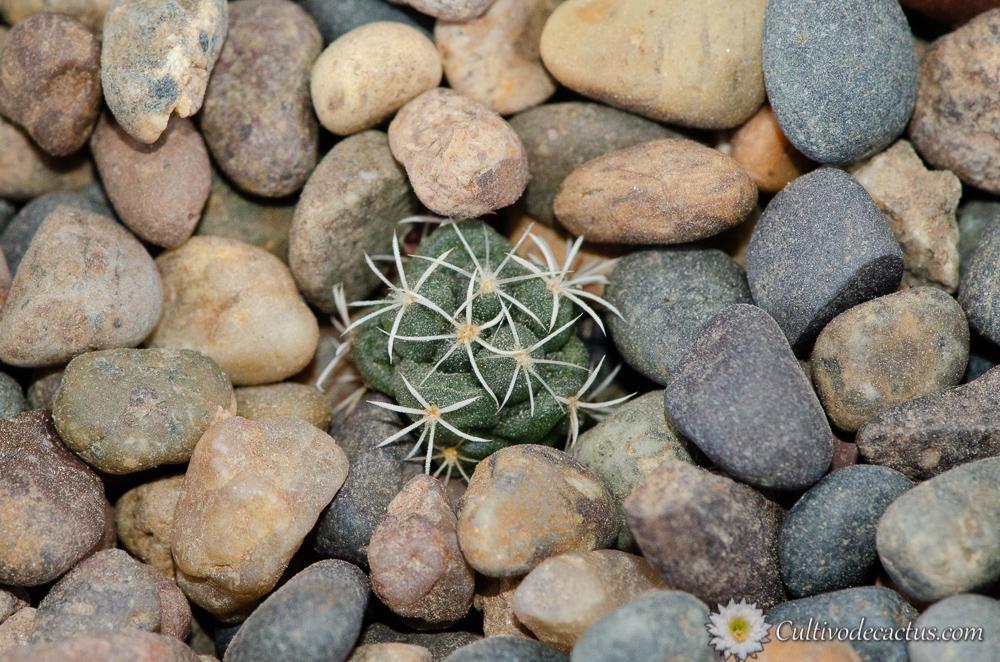 Coryphantha ottonis