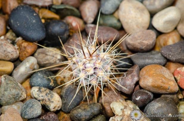 Echinocereus ferreirianus