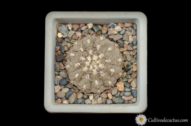 Gymnocalycium bodenbenderianum ssp. piltziorum