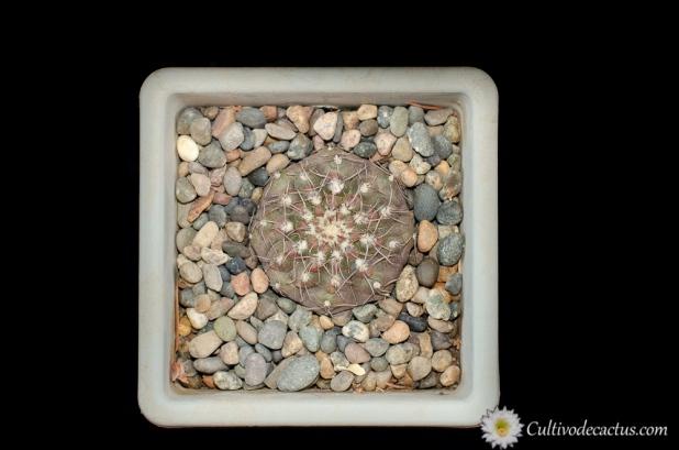 Gymnocalycium kieslingii fm. castaneum