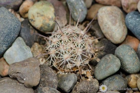 Mammillaria blossfeldiana
