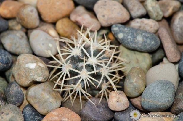 Sclerocactus brevihamatus ssp. brevihamatus