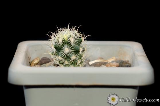 Sclerocactus scheeri var. megarhizus, 5 de Octubre de 2020