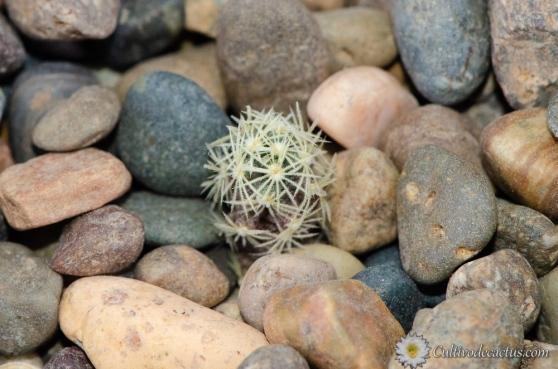 Sclerocactus scheeri var. megarhizus