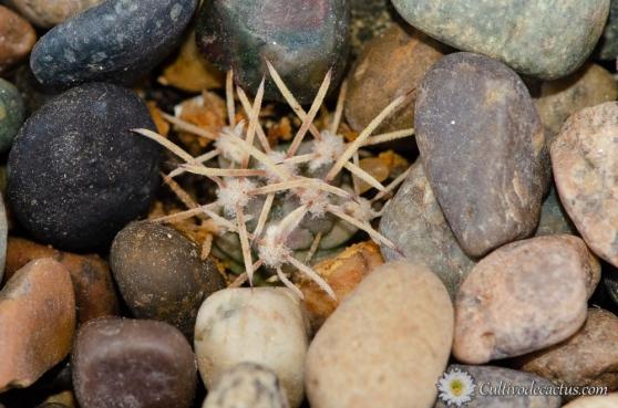 Sclerocactus uncinatus ssp uncinatus