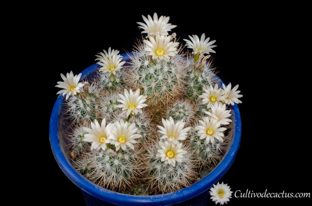 Escobaria lloydii, 28 de Septiembre de 2020