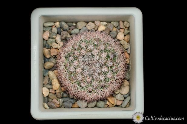 Mammillaria grusonii