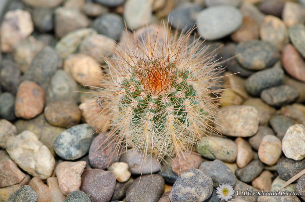 Parodia magnifica var. albiflora